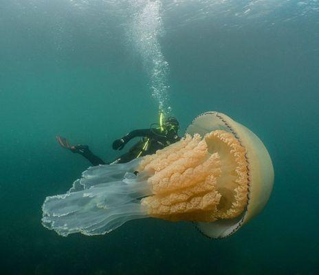 Jellyfish-ocean-diving-giant