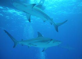 Bahamas-scubadiving-divingpassport-diver-shark