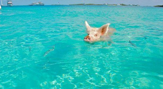 Bahamas-scubadiving-divingpassport-diver-pig