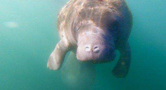 usa-divingpassport-scubadiving-florida-manatie
