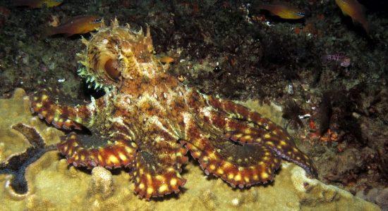 mozambique-divingpassport-scubadiving-octopus