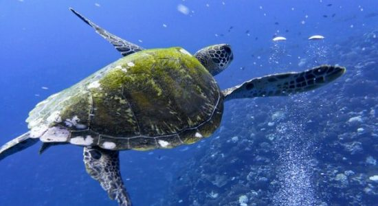 scubadiving-divingpassport-frenchpolynesia-turtle