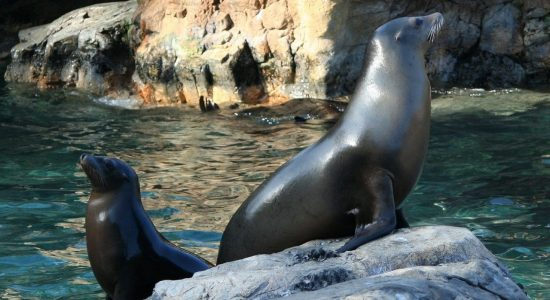 sealions-California-divingpassport-scubadiving-