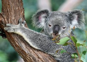 australia-scubadiving-divingpassport-Koala
