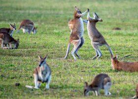australia-scubadiving-divingpassport-Kangoroo