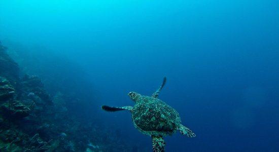 honduras-scubadiving-divingpassport--bay-islands-roatan-utila-guanaja-turtle