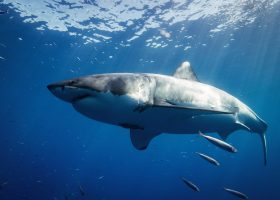 scubadiving-divingpassport-south-africa-shark