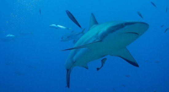 honduras-scubadiving-divingpassport--bay-islands-roatan-utila-guanaja-shark