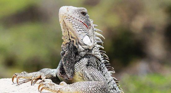 iguana-curacao-scubadiving-divingpassport-