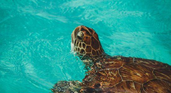 curacao-scubadiving-divingpassport-turtle