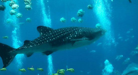 india-scubadiving-divingpassport-whale-shark