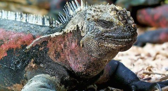 galapagos-ecuador-divingpassport-scubadiving-iguana