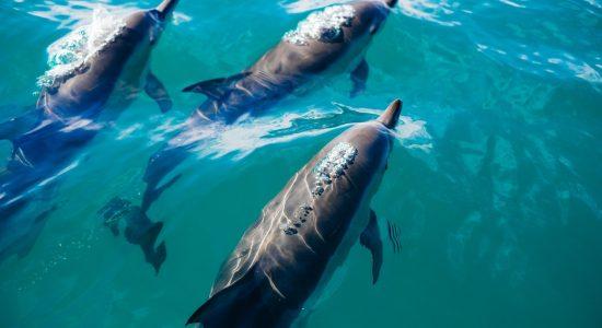 new-zealand-scubadiving-divingpassport-dolphin