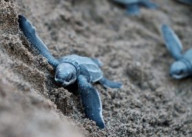 Puerto-rico-scubadiving-divigpassport-turtle