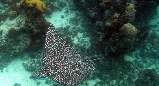 turks-and-caicos-islands-scubadiving-divingpassport-ray