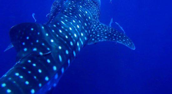Thailand-scubadiving-divingpassport-whale-shark