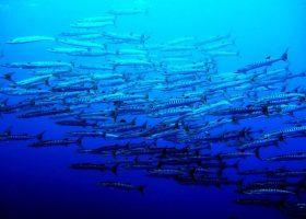 micronesia-scibadiving-divingpassport-coral-fish-diver