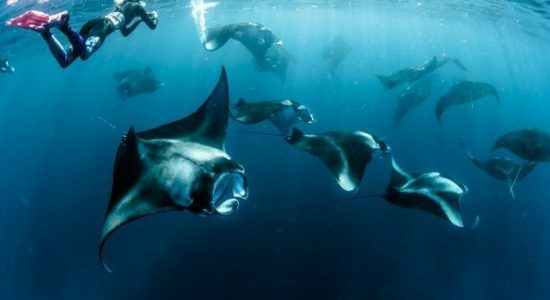 manta-rays-maldives-divingpassport