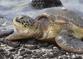 hawaii-scubadiving-divingpassport-turtle